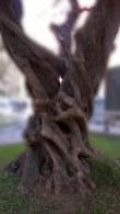 olivos 2 - píncep
