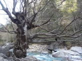 arbre rio Ara